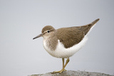 Common Sandpiper (Actitis Hypoleucos) Elbe Biosphere Reserve, Lower Saxony, Germany, September Photographic Print by  Damschen