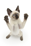 Siamese Kitten, 10 Weeks, Reaching Up Photographic Print by Mark Taylor