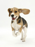 Beagle Puppy Running Photographic Print by Mark Taylor