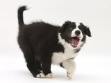 Black-And-White Border Collie Puppy Barking Photographic Print by Mark Taylor