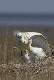 Spoonbill (Platalea Leucorodia) Stretching Wing at Nest with Two Chicks, Texel, Netherlands, May Photographie par  Peltomäki