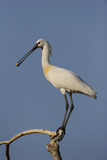 Common Spoonbill (Platalea Leucorodia) Perched on Branch, Lake Kerkini, Macedonia, Greece, May 2009 Photographic Print by  Widstrand