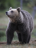 Eurasian Brown Bear (Ursus Arctos) Suomussalmi, Finland, July 2008 Photographic Print by  Widstrand