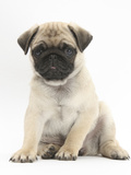 Fawn Pug Puppy, 8 Weeks, Sitting Photographic Print by Mark Taylor
