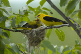Golden Oriole (Oriolus Oriolus) Pair at Nest, Bulgaria, May 2008 Photographic Print by  Nill