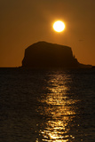 Northern Gannet Colony in Flight over Bass Rock at Sunrise, Firth of Forth, Scotland, August Photographic Print by  Green