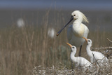 Spoonbill (Platalea Leucorodia) at Nest with Two Chicks, Texel, Netherlands, May 2009 Photographic Print by Peltomäki