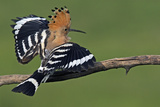 Hoopoe (Upupa Epops) Landing on Branch, Hortobagy Np, Hungary Reproduction photographique par  Varesvuo