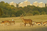 Red Deer (Cervus Elaphus) in Richmond Park with Roehampton Flats in Background, London, England, UK Photographic Print by Terry Whittaker