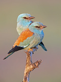 European Roller (Coracias Garrulus) Pair Perched on Branch, Pusztaszer, Hungary, May 2008 Reproduction photographique par  Varesvuo