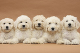 Five Labradoodle Puppies, 9 Weeks Photographic Print by Mark Taylor