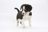 Border Collie Puppy Walking Photographic Print by Mark Taylor