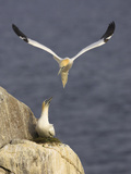 Northern Gannets (Morus Bassanus) Pair at Nest, Saltee Islands, Ireland, June 2009 Photographic Print by Green