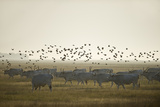 Hungarian Grey Cattle (Bos Primigenius Taurus Hungaricus) with European Starlings Overhead, Hungary Photographie par Radisics