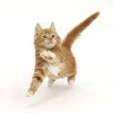 Ginger Kitten Leaping with Legs Outstretched Photographic Print by Mark Taylor