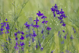 Forking Larkspur (Delphinium Consolida - Consolida Regalis) in Flower, East Slovakia, Europe Fotografisk tryk af Wothe
