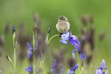 Young Stonechat (Saxicola Torquatus) Sitting on Siberian Iris, Eastern Slovakia, Europe, May Photographic Print by  Wothe