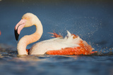 Greater Flamingo (Phoenicopterus Roseus) Bathing, Pont Du Gau, Camargue, France, May 2009 Photographic Print by  Allofs