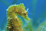 Short Snouted Seahorse (Hippocampus Hippocampus) Profile, Malta, Mediteranean, June Photographic Print by  Zankl