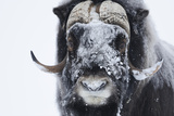 Muskox (Ovibos Moschatus) with Snow on Face, Dovrefjell Np, Norway, February 2009 Photographic Print by  Munier