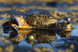 Crab (Eriphia Verrucosa) in Shallow Water, Alentejo, Portugal Photographic Print by  Quinta