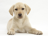 Yellow Labrador Retriever Puppy, 10 Weeks Photographic Print by Mark Taylor