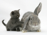 Grey Kitten with Grey Windmill-Eared Rabbit Photographic Print by Mark Taylor