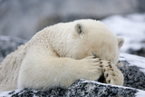 Polar Bear (Ursus Maritimus) with Paws Covering Eyes, Svalbard, Norway, September 2009 Fotografisk trykk av  Cairns