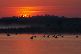 Flock of Coot (Fulica Atra) on Lake at Sunset, Pusztaszer, Hungary, May 2008 Photographic Print by  Varesvuo
