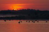Flock of Coot (Fulica Atra) on Lake at Sunset, Pusztaszer, Hungary, May 2008 Photographic Print by  Varesvuo