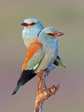 European Roller (Coracias Garrulus) Pair Perched on Branch, Pusztaszer, Hungary, May 2008 Photographic Print by  Varesvuo