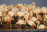 Greater Flamingos (Phoenicopterus Roseus) Part of Breeding Colony, Camargue, France Photographic Print by  Allofs