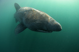 Basking Shark (Cetorhinus Maximus) Mull, Scotland, June 2009 Photographic Print by  Sá