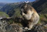 Alpine Marmot (Marmota Marmota) Feeding, Hohe Tauern Np, Austria, July 2008 Photographic Print by  Lesniewski