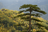 Black Pine (Pinus Nigra) in Forest Near Djurdjevica Tara, Tara Canyon, Durmitor Np, Montenegro Photographic Print by  Radisics