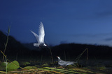 Whiskered Tern (Chlidonias Hybrida) Landing at Nest at Night, Lake Skadar Np, Montenegro, May Photographic Print by  Radisics