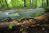European Salamander (Salamandra Salamandra) on Tree Trunk Beside River, Male Morske Oko, Slovakia Photographic Print by  Wothe