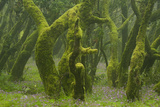 Laurisilva Forest, Laurus Azorica Among Other Trees, Garajonay Np, La Gomera, Canary Islands, Spain Photographic Print by  Relanzón