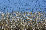 Large Flock of Waders in Flight, Japsand, Germany, April 2009 Photographic Print by  Novák
