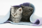 Two Kittens Asleep under a Scarf Photographic Print by Mark Taylor