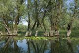 Willow Trees (Salix) Growing in Water, Lake Skadar, Lake Skadar National Park, Montenegro, May 2008 Photographic Print by  Radisics