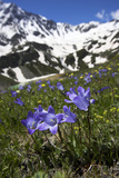 Bellflowers with Lake Donguzorun and Donguzorumn Mountains Behind, Caucasus, Russia, June Photographic Print by  Schandy