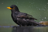 Blackbird (Turdus Merula) Male Bathing, Pusztaszer, Hungary, May 2008 Photographie par  Varesvuo