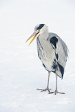 Grey Heron (Ardea Cinerea) on Ice, Beak Open, River Tame, Reddish Vale Country Park, Stockport, UK Photographic Print by Terry Whittaker