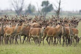 Red Deer (Cervus Elaphus) Herd, Oostvaardersplassen, Netherlands, June 2009 Photographic Print by  Hamblin