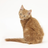 Ginger Kitten, Looking over His Shoulder Photographic Print by Mark Taylor