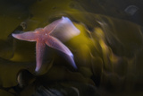 Common Starfish (Asterias Rubens) Swimming, Saltstraumen, Bodø, Norway, October 2008 Photographic Print by  Lundgren