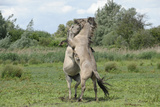 Konik Horse (Equus Caballus) Two Stallions Fighting, Wicken Fen, Cambridgeshire, UK, June Photographic Print by Terry Whittaker