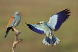 European Roller (Coracias Garrulus) Courtship Display, Pusztaszer, Hungary Photographic Print by  Varesvuo