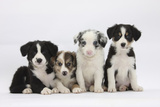 Four Border Collie Puppies Fotografisk tryk af Mark Taylor